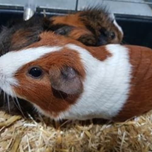 Nutmeg (Buddy of Ginger) - Abyssinian Guinea Pig