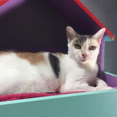 Madam  - Domestic Short Hair Cat