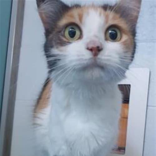 Charlie - Domestic Medium Hair Cat