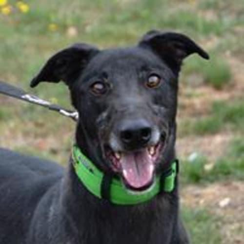 Benny  938931 - Greyhound Dog