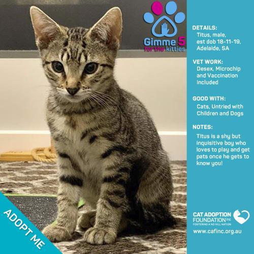 Titus - Domestic Short Hair Cat