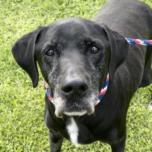Roxy  938231 - Labrador x Cross breed Dog