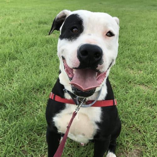 Dexter - Boxer x Bull Terrier Dog