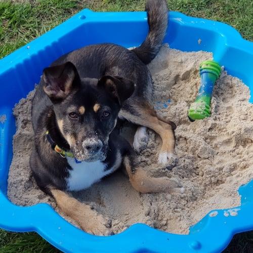 Ruby - German Shepherd x Rottweiler Dog