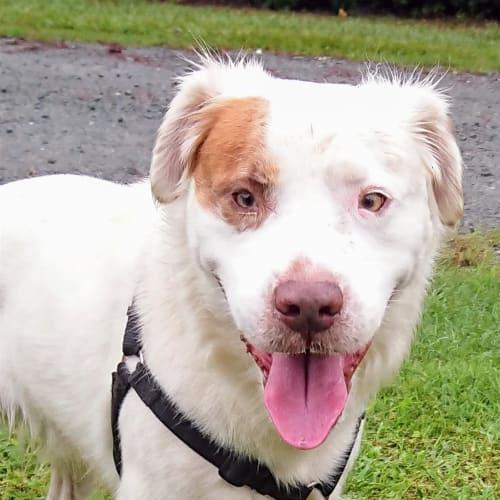 Prince - Border Collie Dog