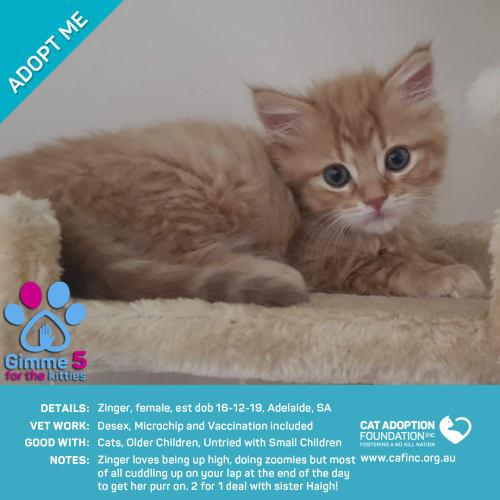 Zinger - Domestic Short Hair Cat