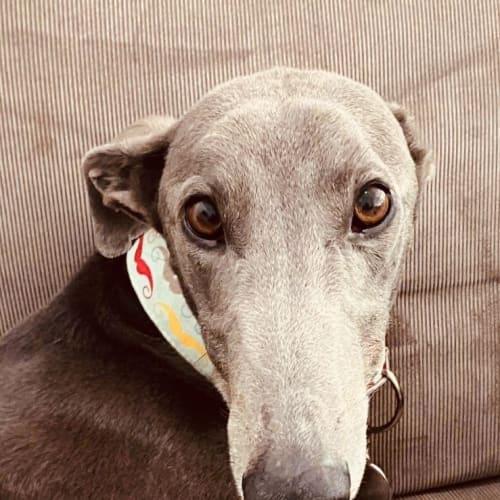 Harrison - Greyhound Dog