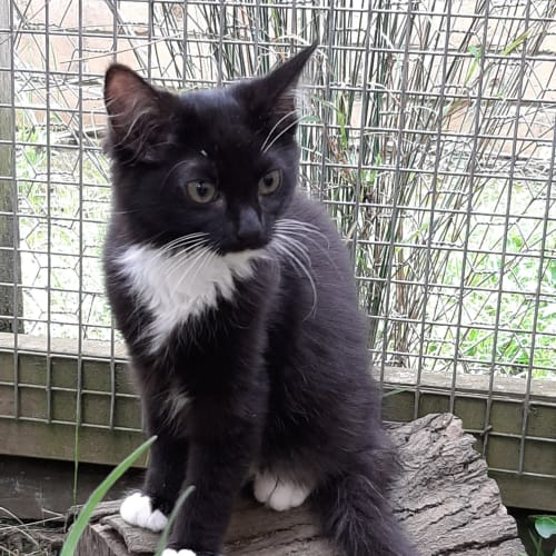 Bagel - Domestic Short Hair Cat