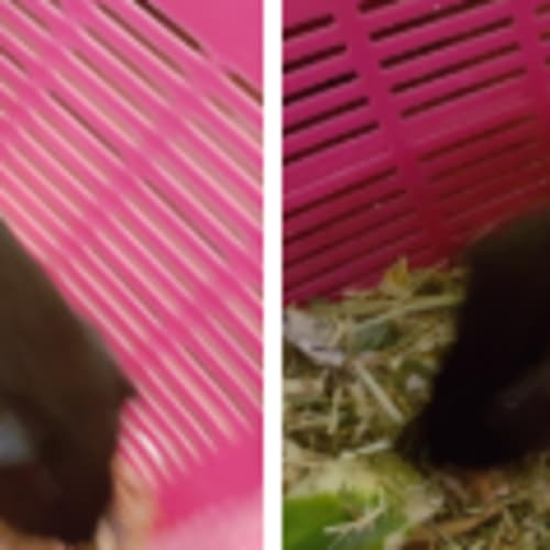 Spot (Buddy of Piccolo) - Smooth Hair Guinea Pig