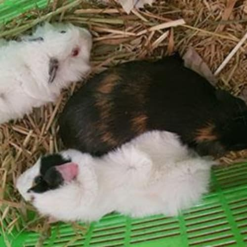 Pixie - Abyssinian Guinea Pig