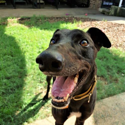 Sirius (In Foster 29 Feb) - Greyhound Dog