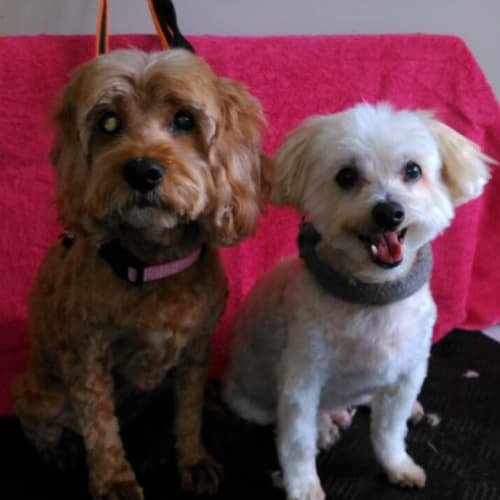 Ruby and Toby - Poodle x Cocker Spaniel, American Dog