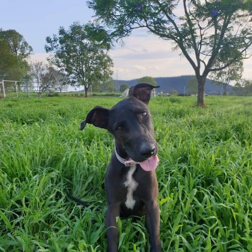 Lilah  - Greyhound Dog