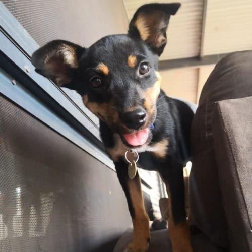Tuck - Blue Heeler x Jack Russell Terrier Dog