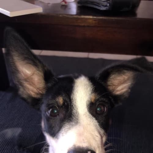 Dudley - Kelpie x Collie Dog