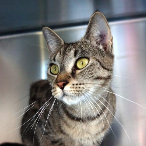 Blossom - Domestic Short Hair Cat