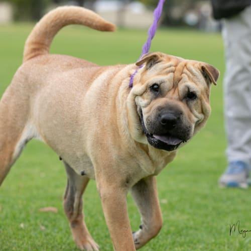 Bonnie - Shar-Pei Dog