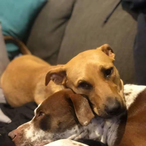 Lexi  - American Staffordshire Terrier x Rhodesian Ridgeback Dog