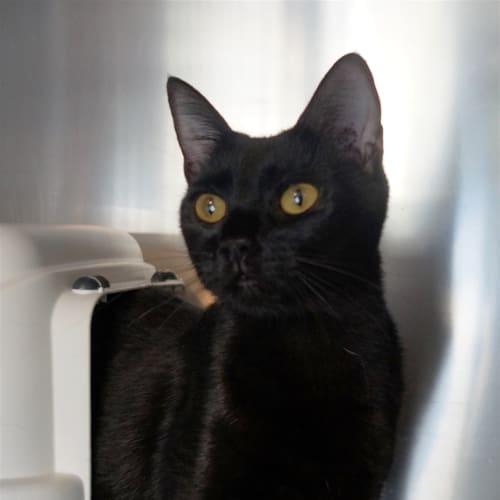 Poppy - Domestic Short Hair Cat