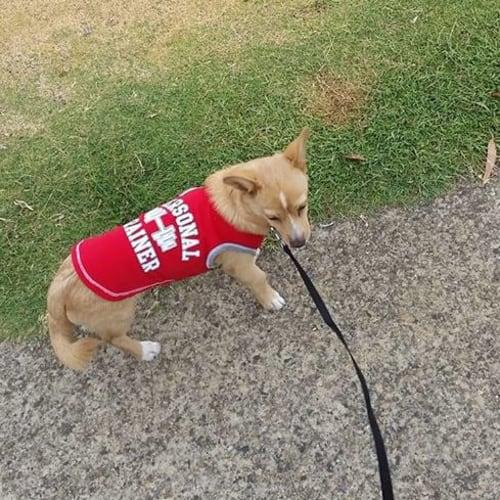Chino - Pomeranian x Chihuahua Dog