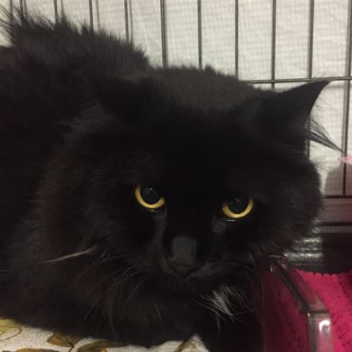 Jasper - Domestic Long Hair Cat