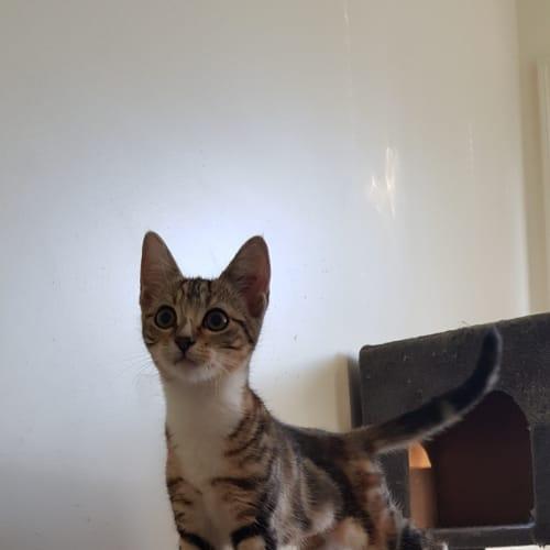 Bindi Erwin - Domestic Short Hair Cat
