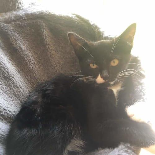 Tips - Domestic Short Hair Cat