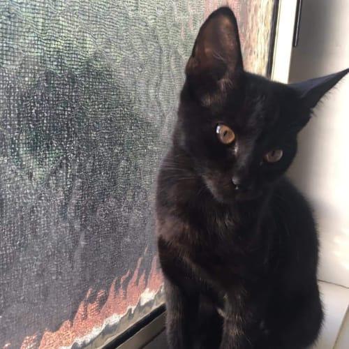 Tibs - Domestic Short Hair Cat