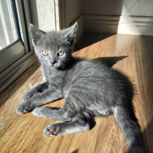Possum - Domestic Short Hair Cat