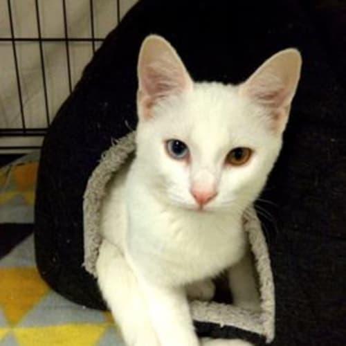 Narla - Domestic Short Hair Cat