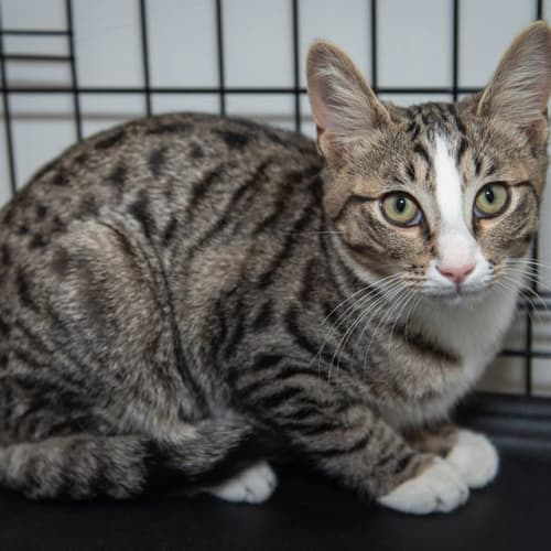 2585 - Barney - Domestic Short Hair Cat