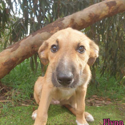 Flynn - Staghound Dog