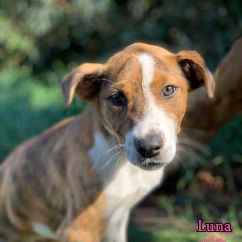 Luna - Staffy Dog