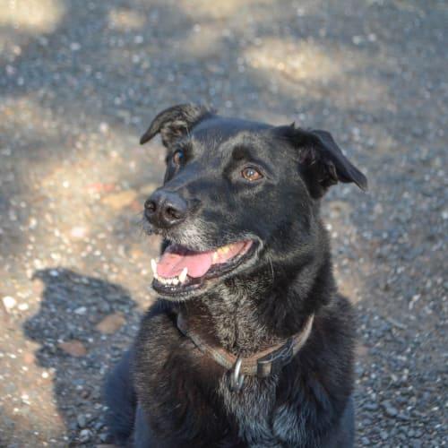 Buddy - Labrador x Kelpie Dog