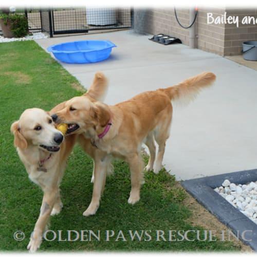 Bella and Bailey - Beautiful! - Golden Retriever Dog