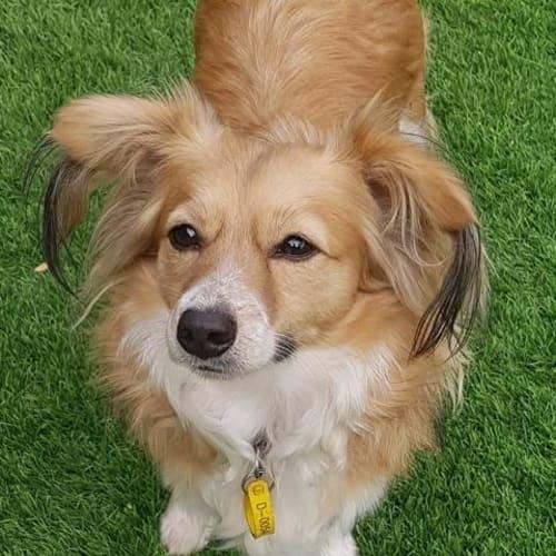 Teddy (Apollo) - Papillon x Welsh Corgi Dog