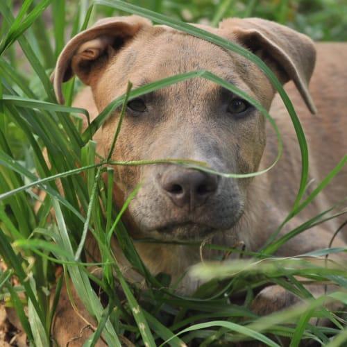 Knox - Cattle Dog x Mastiff Dog