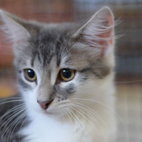 Sheldon  - Domestic Medium Hair Cat