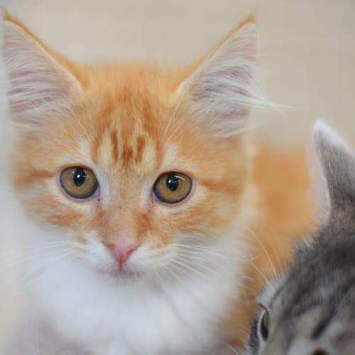 Fergie - Domestic Medium Hair Cat