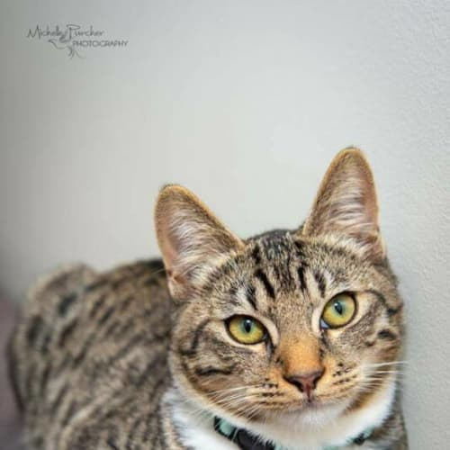 2409 – Oliver - Domestic Short Hair Cat