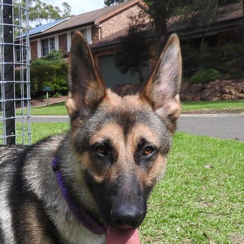 Milo - German Shepherd Dog