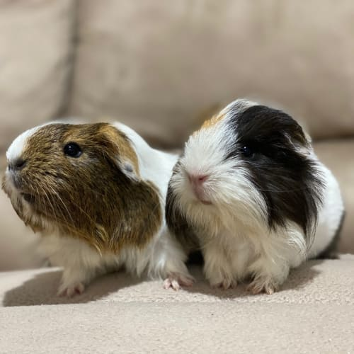 Roxy and Penny - Sheltie x Smooth Hair Guinea Pig