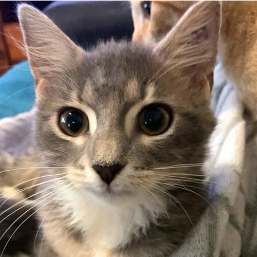 Cosette - Domestic Short Hair Cat