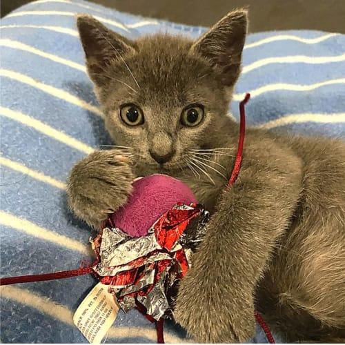 Kringle - Domestic Short Hair Cat
