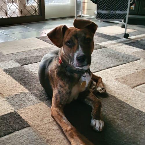 Tika - German Shepherd x Boxer Dog