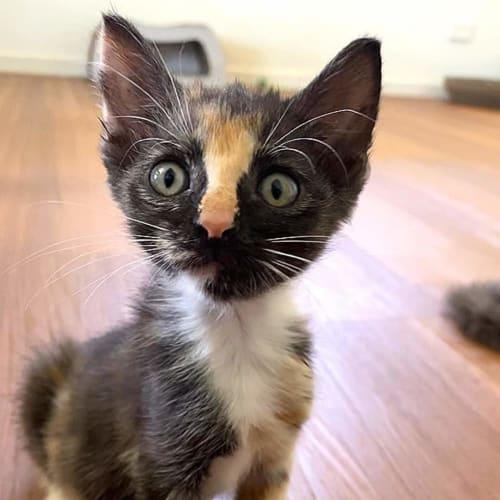 Tinsel - Domestic Short Hair Cat