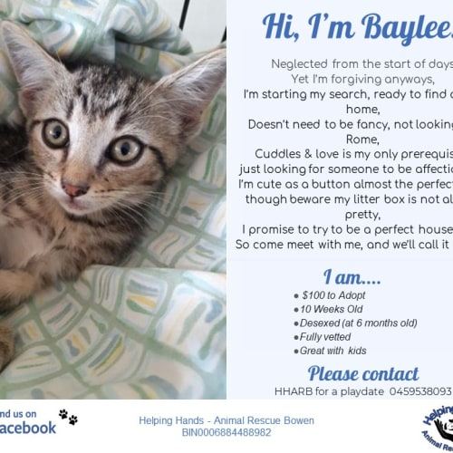 Baylee - Domestic Short Hair Cat