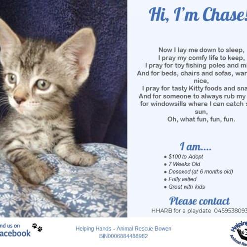 Chase - Domestic Medium Hair Cat