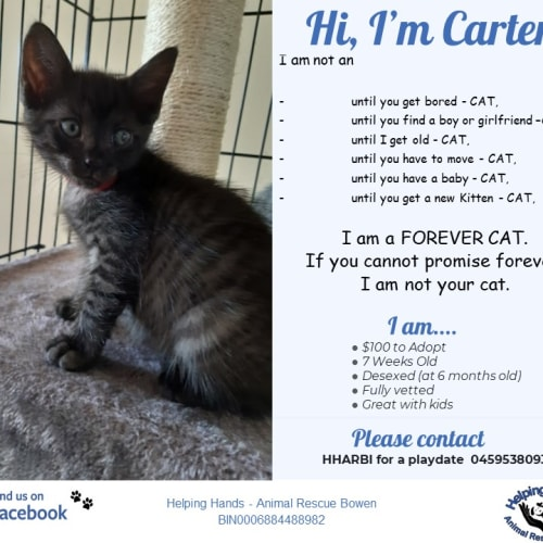Carter - Domestic Short Hair Cat