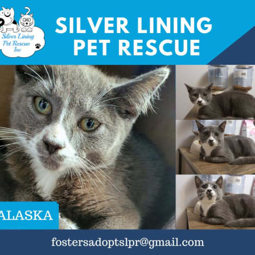 Alaska - Domestic Short Hair Cat